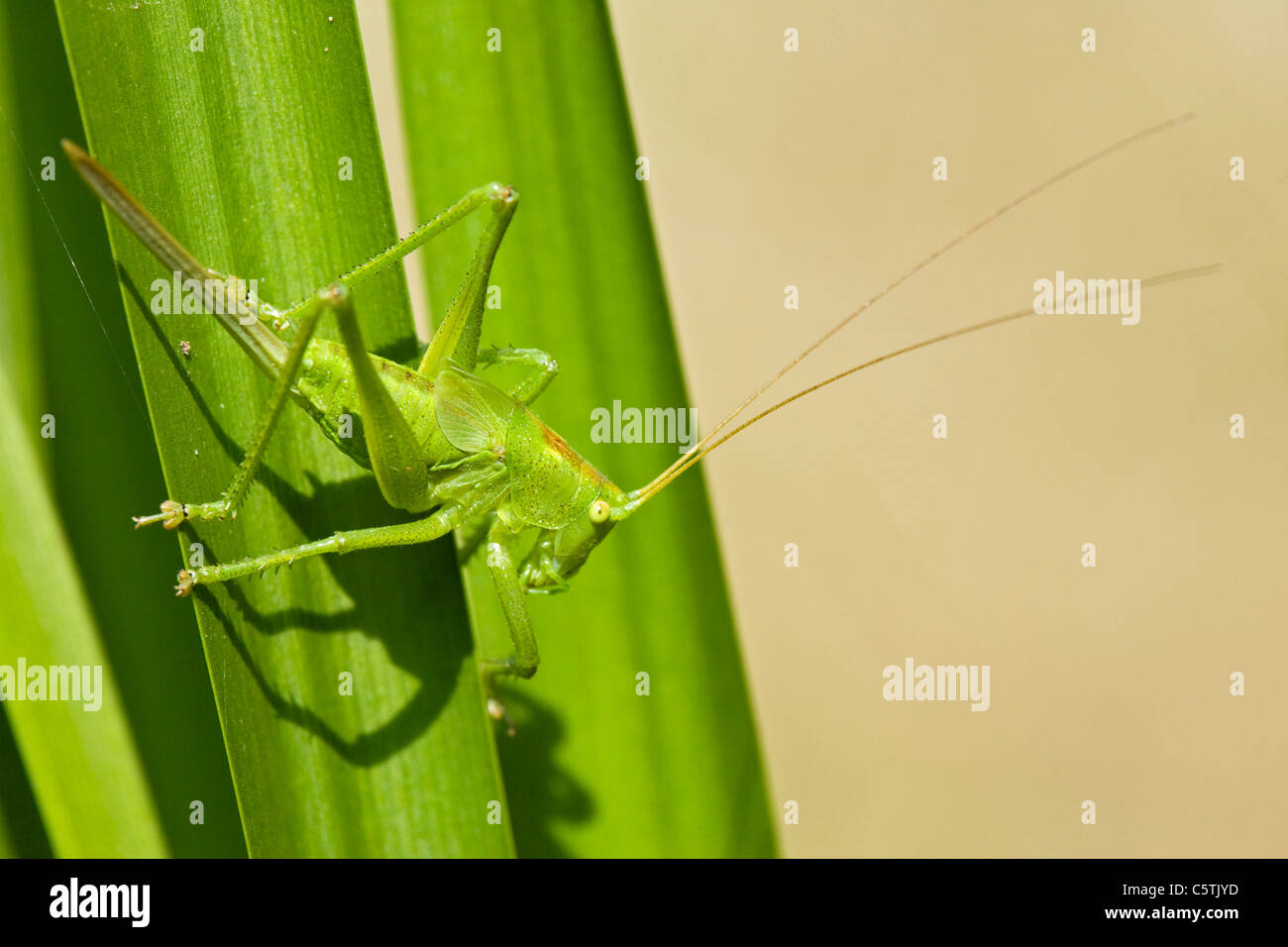 Große grüne Bush Cricket (Tettigonia Viridissima) im Blatt, Nahaufnahme Stockbild