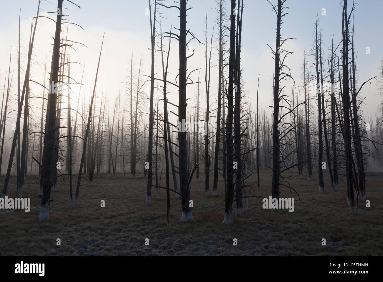 USA, Yellowstone Park, tote Bäume in nebligen Landschaft Stockbild