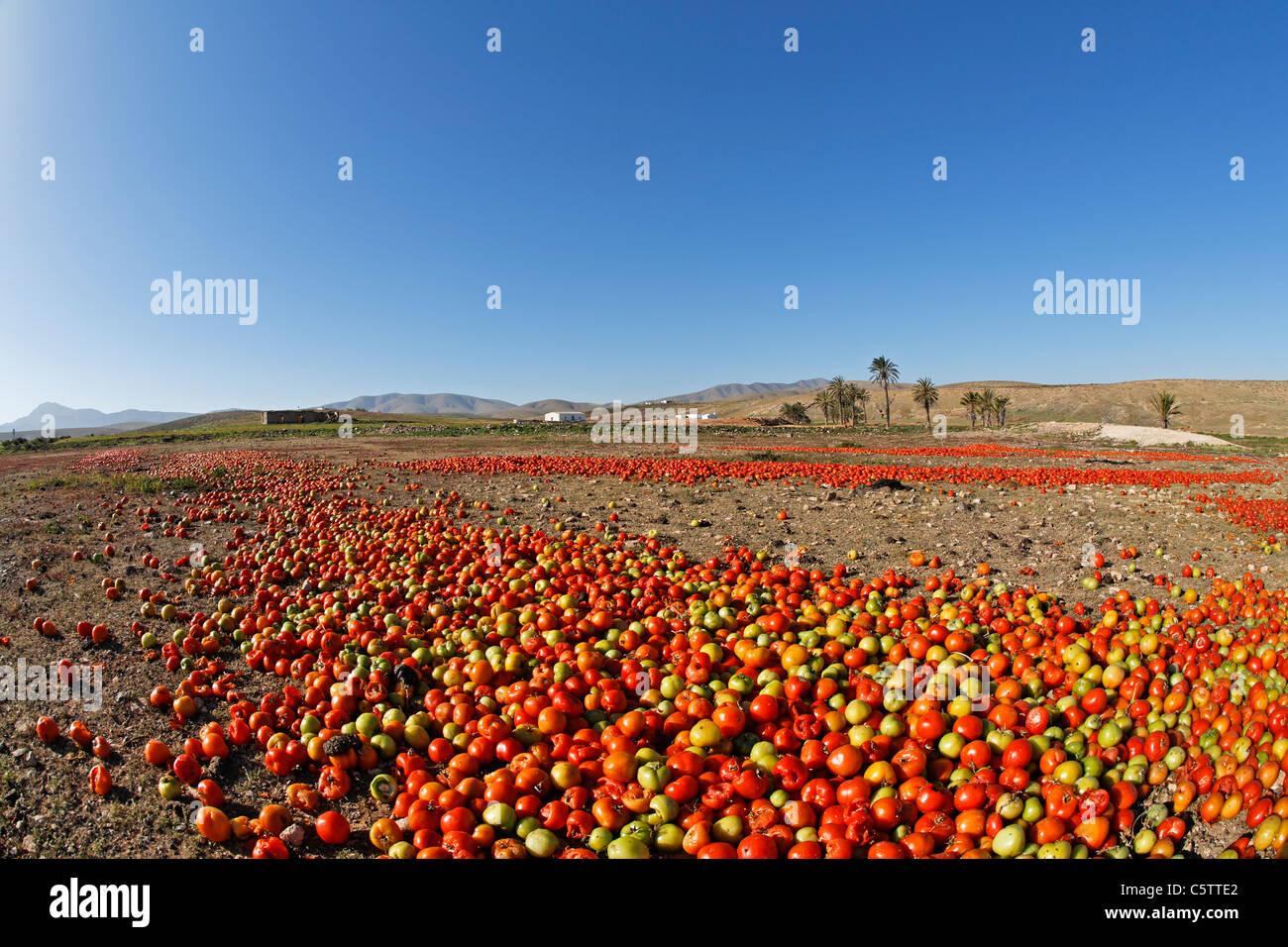 Spanien, Kanarische Inseln, Fuerteventura, Landschaft mit Tomaten in der Nähe von Tuineje Stockbild