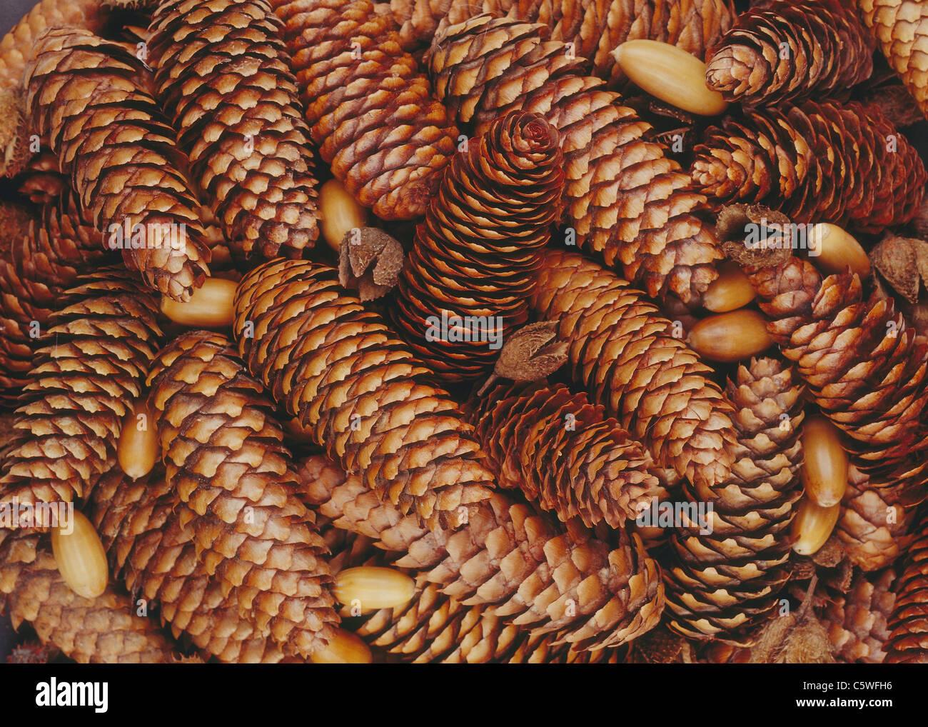 Kiefer Kegel Hintergrund, Nahaufnahme Stockbild