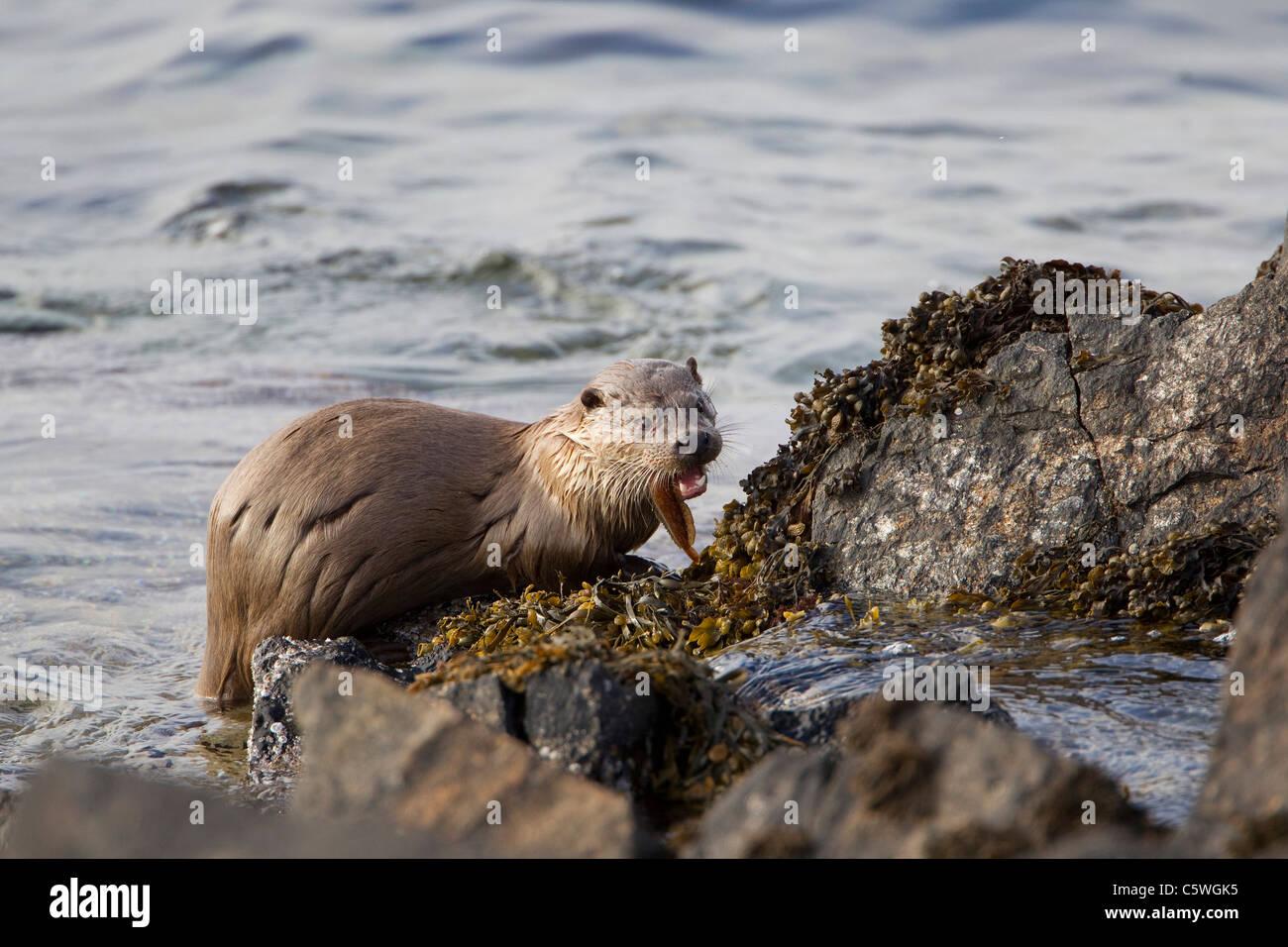 Europäischen Fischotter (Lutra Lutra) Fütterung auf eine Rockling auf felsigen Küste. Shetland, Schottland, Stockbild