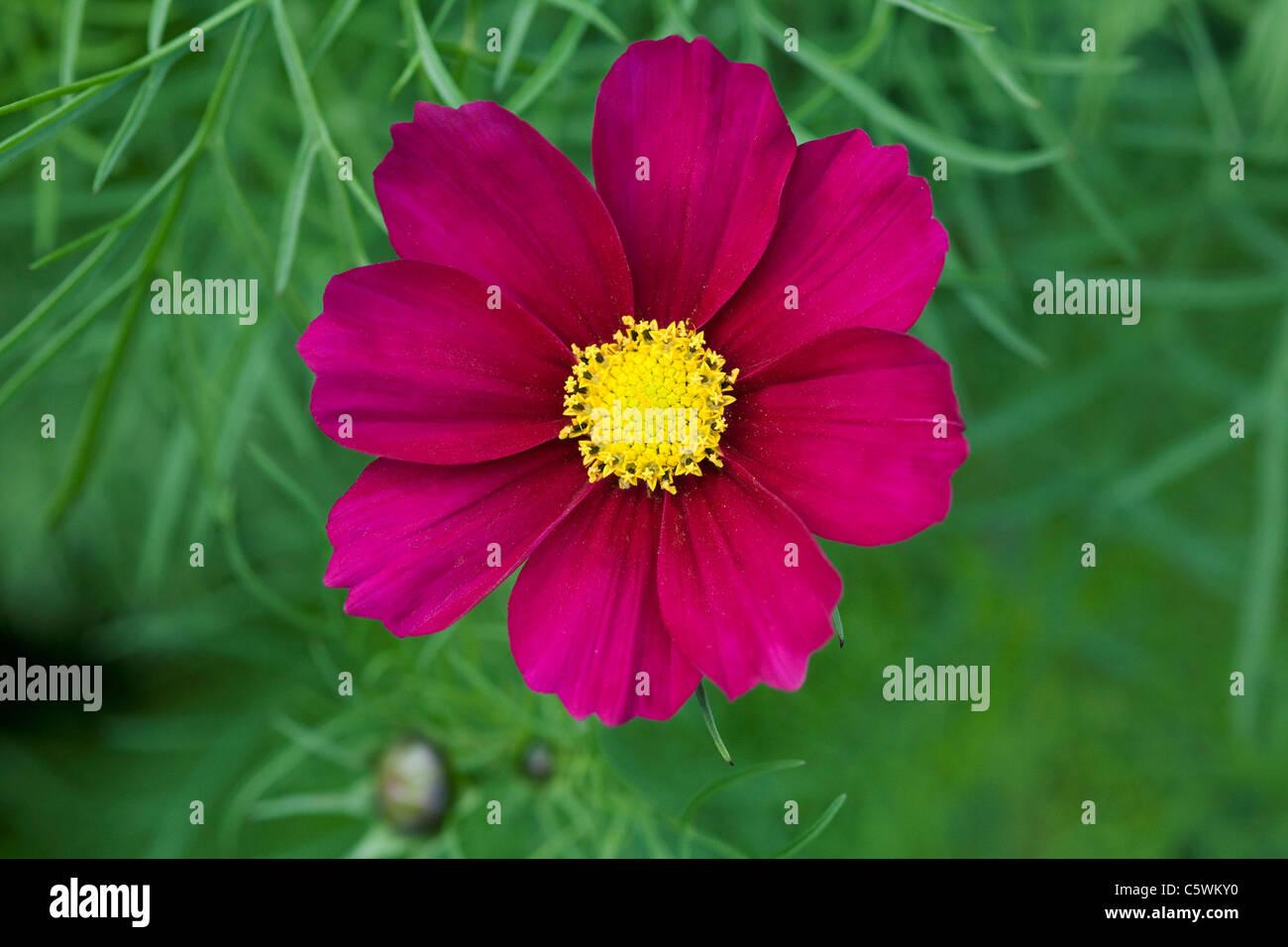 Cosmos Bipinnatus Blume. Stockbild