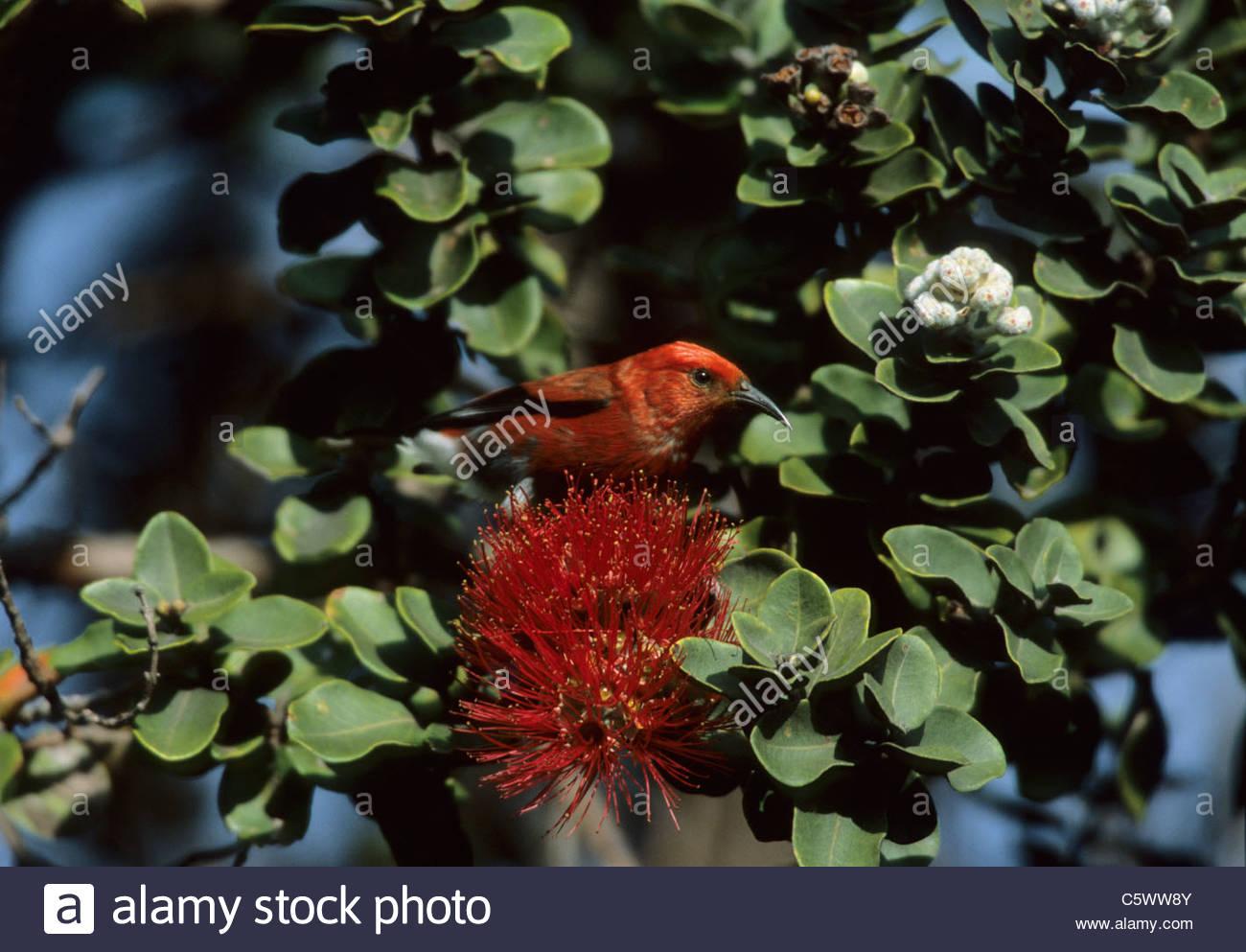 Apapane - am Ohio Blume Himatione sanguineaund Big Island, Hawaii BI003583 Stockbild