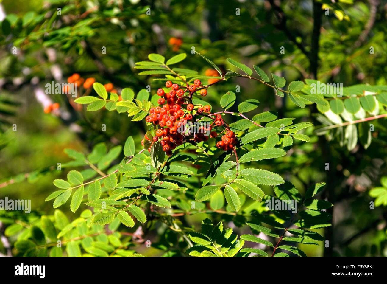 Eberesche (Sorbus Aucuparia) auch bekannt als Eberesche. Rote Früchte Beeren, Blätter. Schottland Stockbild