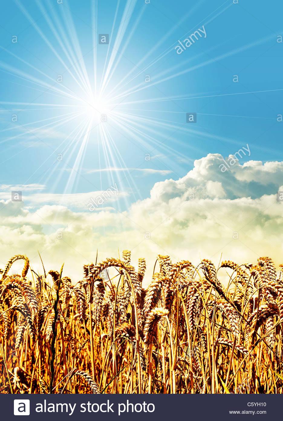 Sonnenschein Kornfeld Stockbild