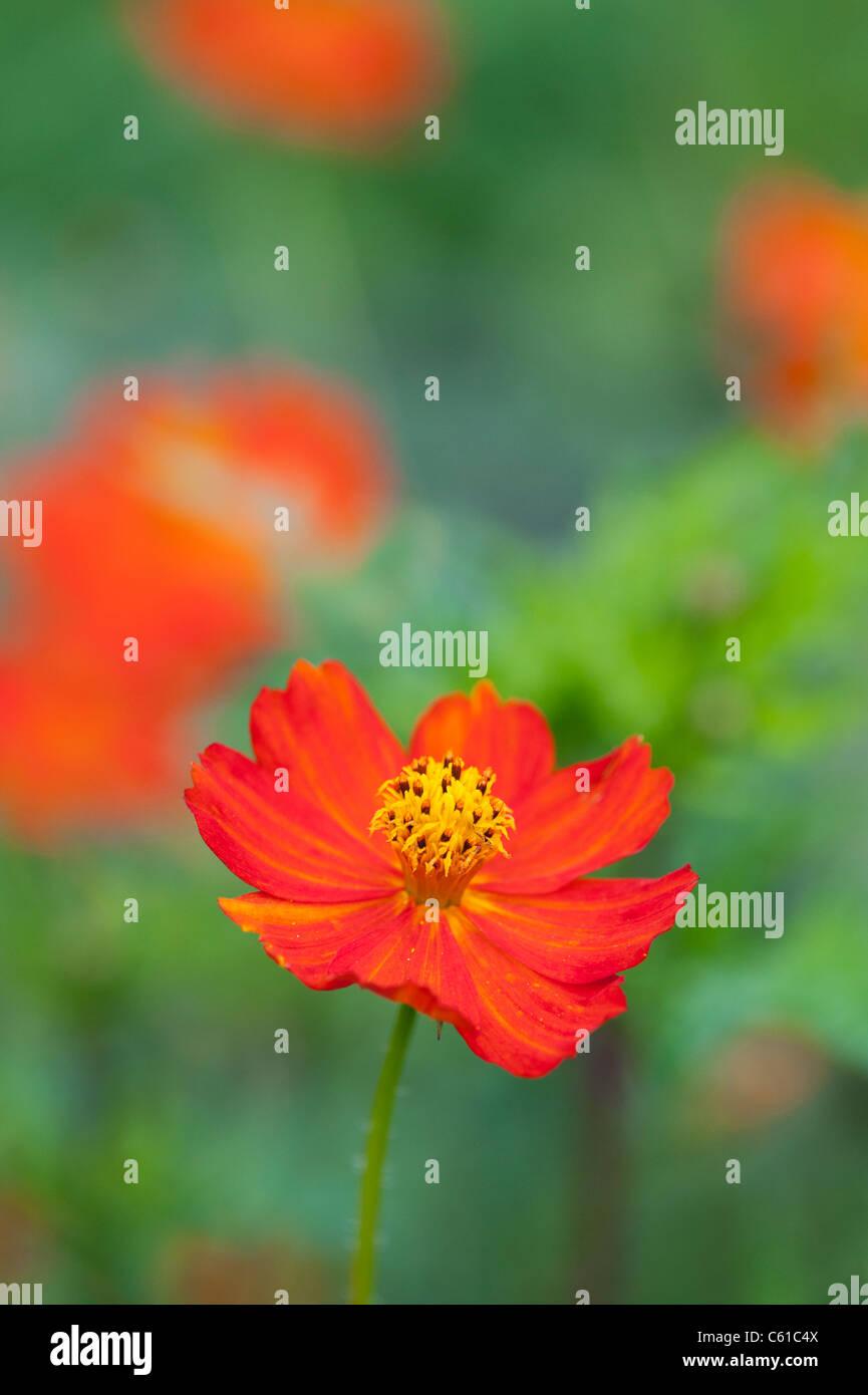 Cosmos Sulphureus Polidor Blume Stockbild