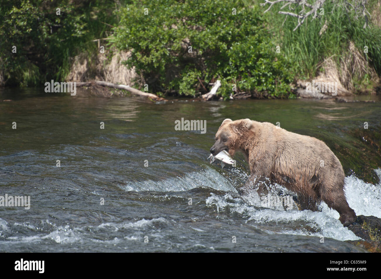 Braunbären/Grizzly Bären Fang von Lachs Stockfoto