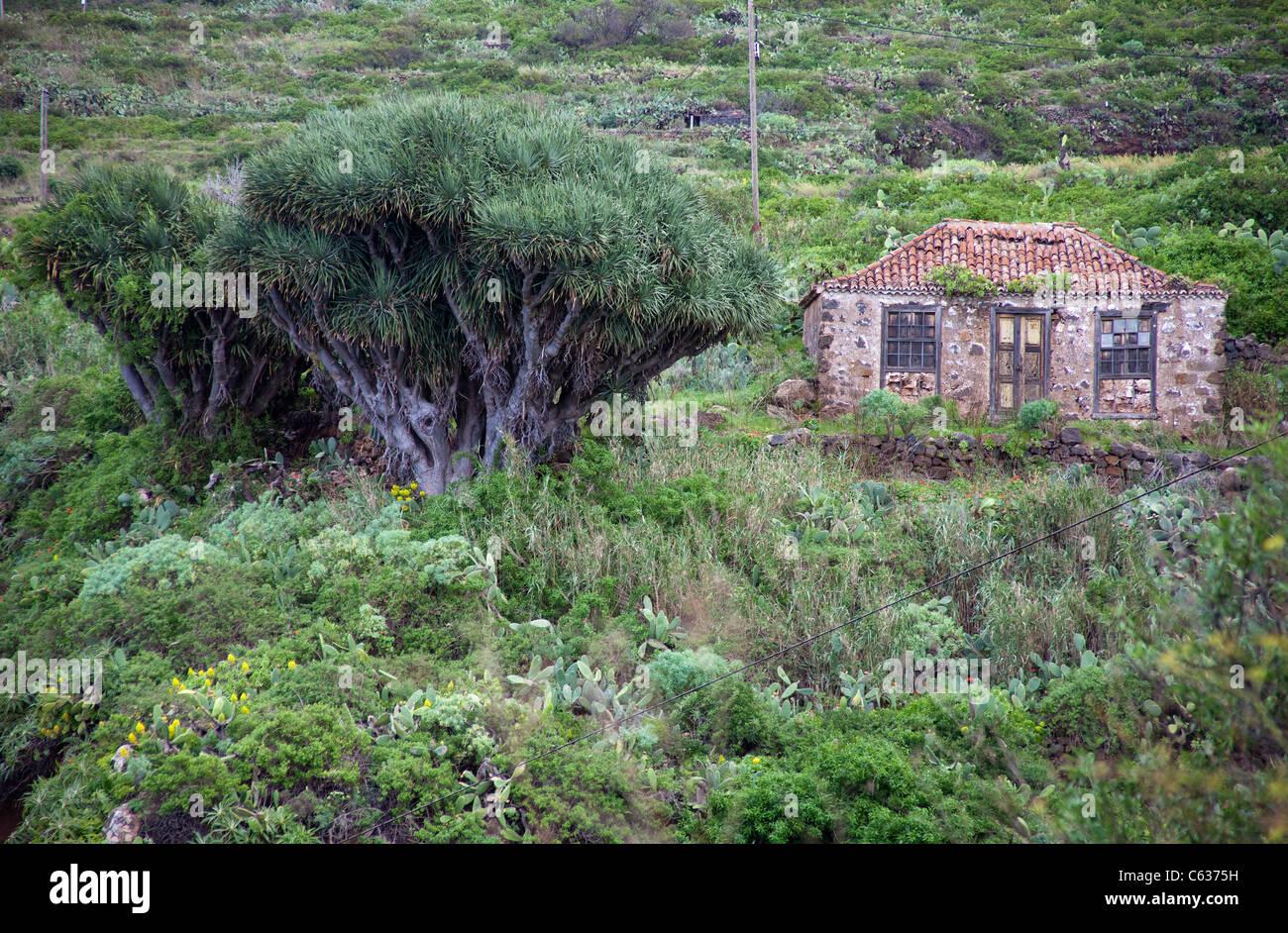Alte farmerhouse und Drachenbaum (Dracaena Draco), Santo Domingo de Garafia, La Palma, Kanarische Inseln, Spanien, Stockbild