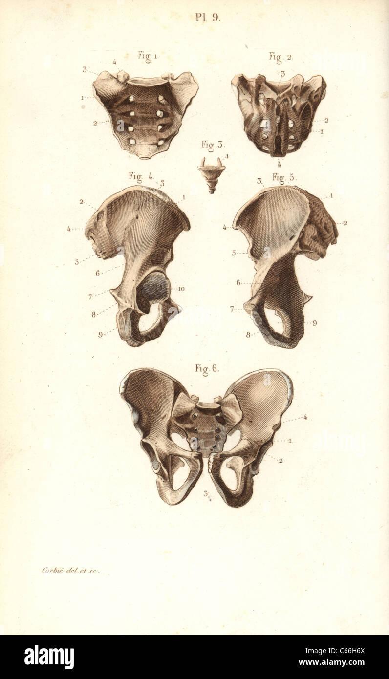 Kreuzbein, Steißbein und Becken Knochen Stockfoto, Bild: 38253906 ...