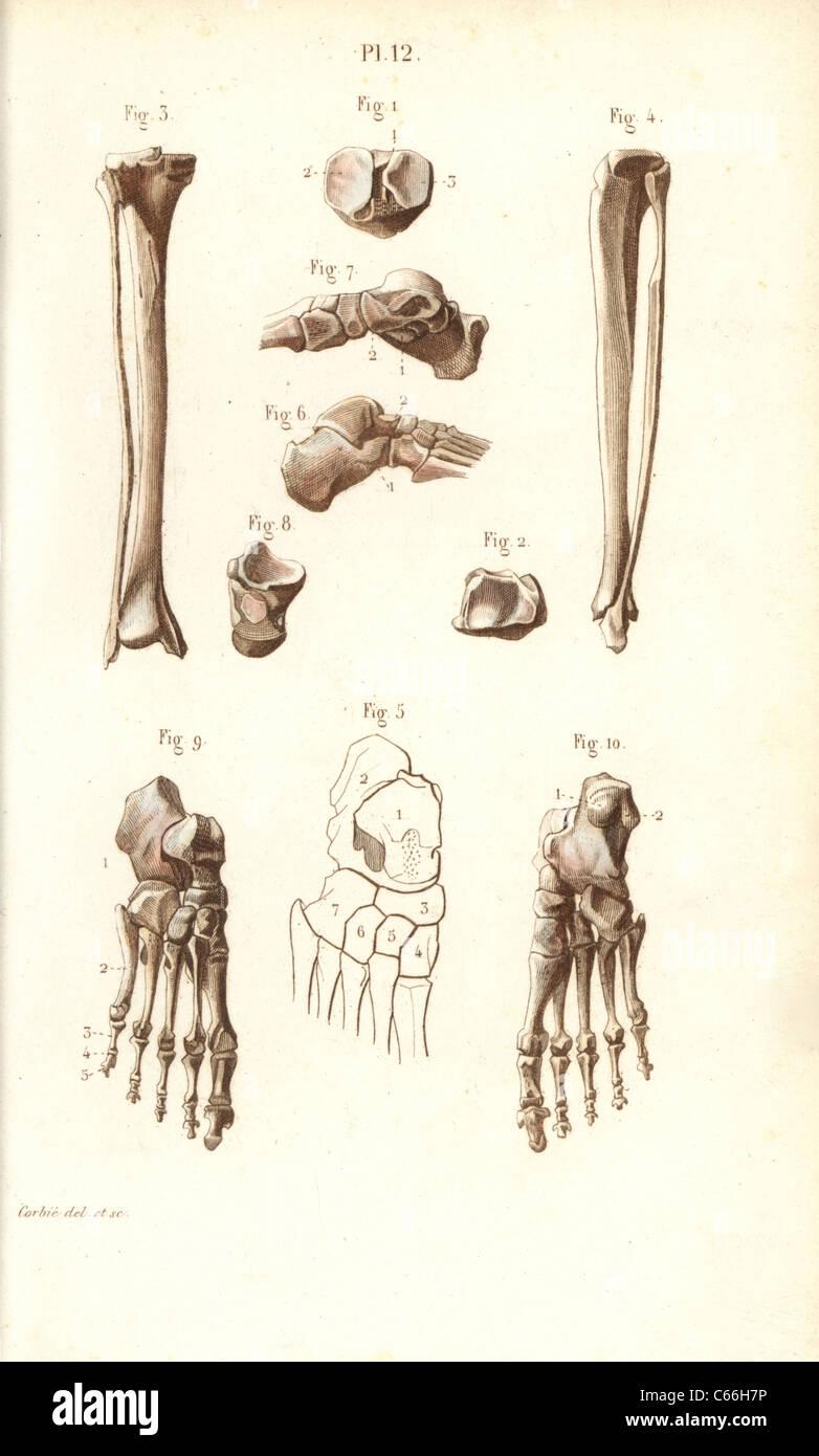 Ausgezeichnet Bein Und Fußknochen Galerie - Menschliche Anatomie ...