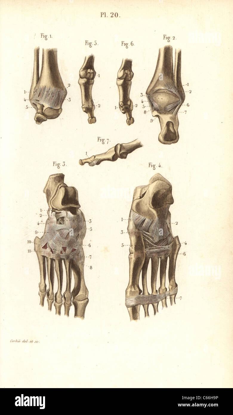 Knöchel und Fuß Knochen Stockfoto, Bild: 38253986 - Alamy