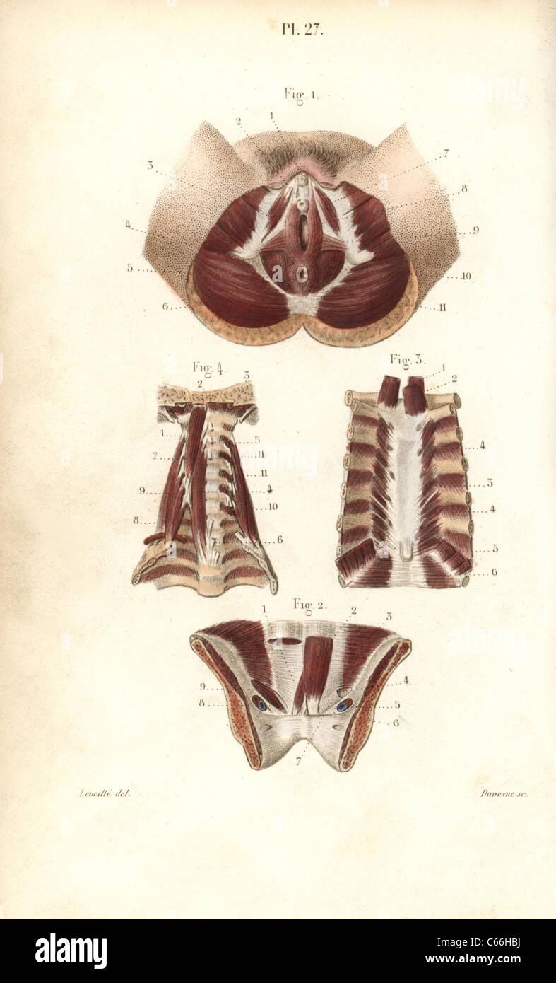 Muskeln des weiblichen Genitals, Brustbein und Hals Stockfoto, Bild ...