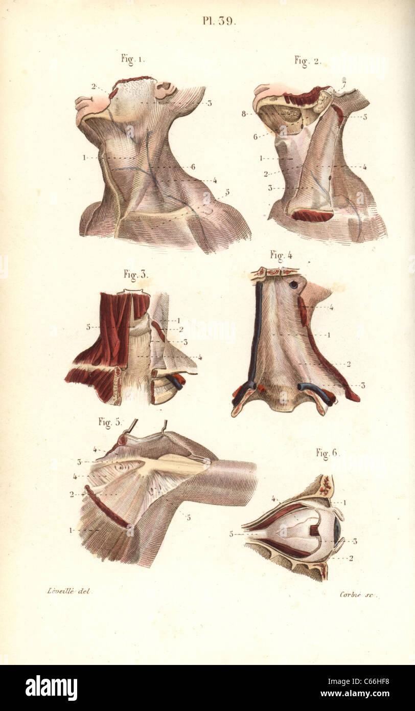 Aponeuroses der Nacken-, Schulter- und Auge Stockfoto, Bild ...