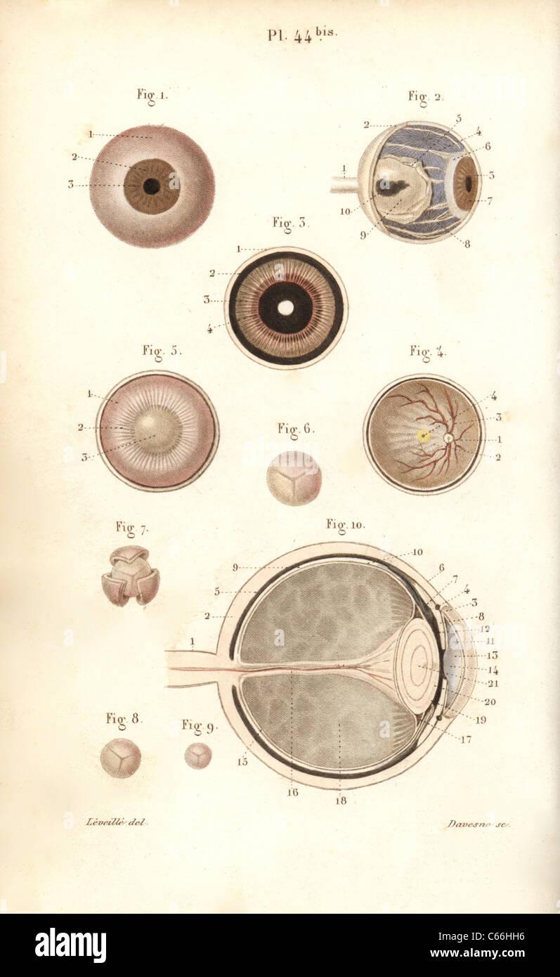 Teile der Augapfel und seine Membranen Stockfoto, Bild: 38254194 - Alamy