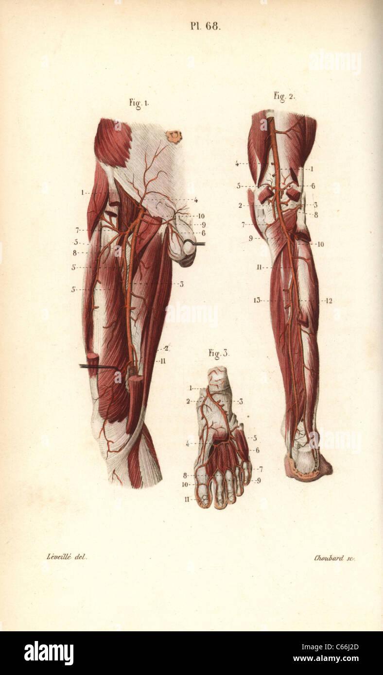 Großzügig Herz Kreislauf System Fakten Fotos - Menschliche Anatomie ...