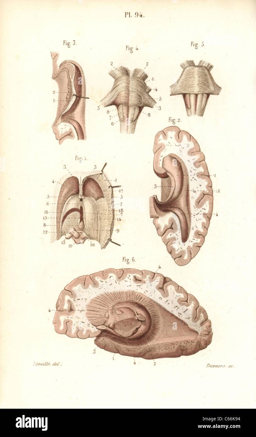 Ungewöhnlich Zirbeldrüse Ideen - Anatomie Und Physiologie Knochen ...