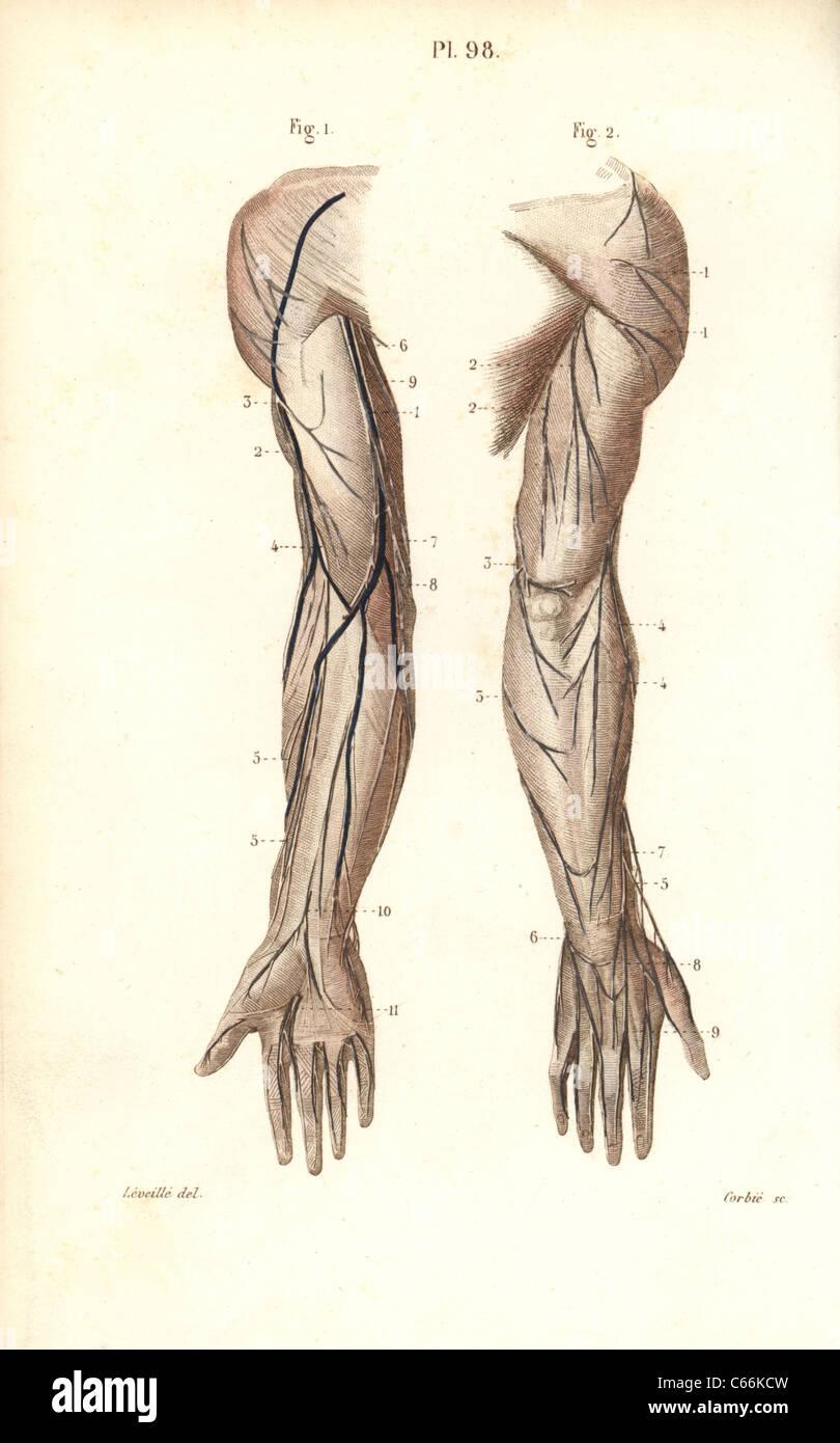 Wunderbar Hand Anatomie Nerven Ideen - Menschliche Anatomie Bilder ...
