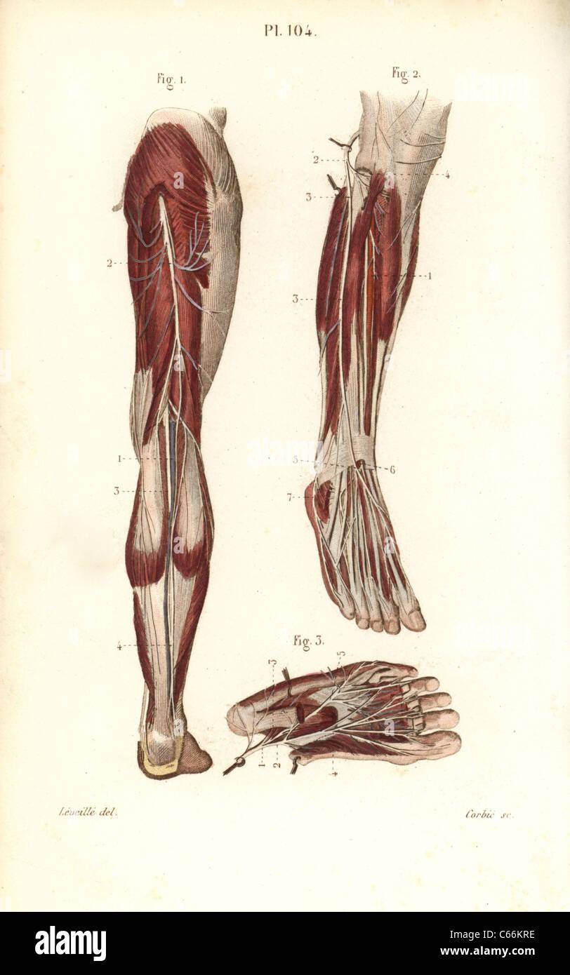 Saphenous und mediale plantar Nerven Stockfoto, Bild: 38255938 - Alamy