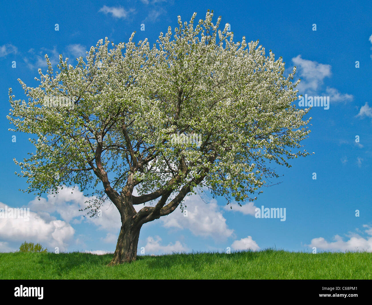 cherry tree stockfotos cherry tree bilder alamy. Black Bedroom Furniture Sets. Home Design Ideas