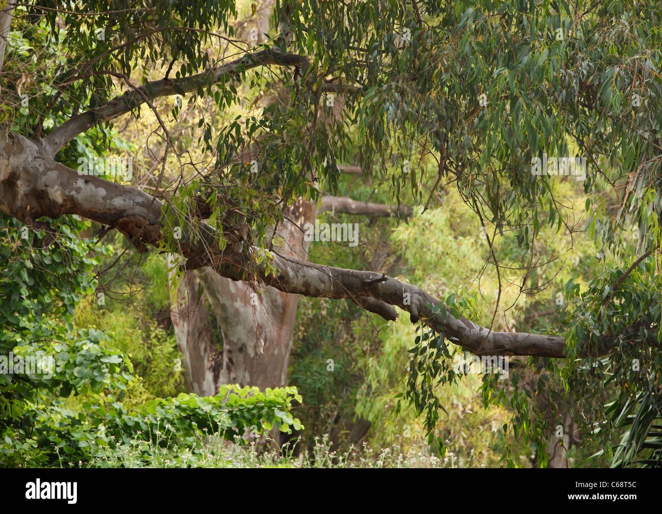 Grünen Zweig der Grossbaum Kreuzung Bild mit kräftigen Stamm von einem anderen Baum hinter. Stockbild