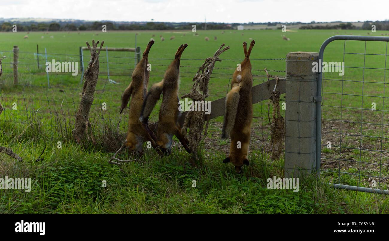 tote füchse aufgereiht auf ein bauern zaun australien verwilderte