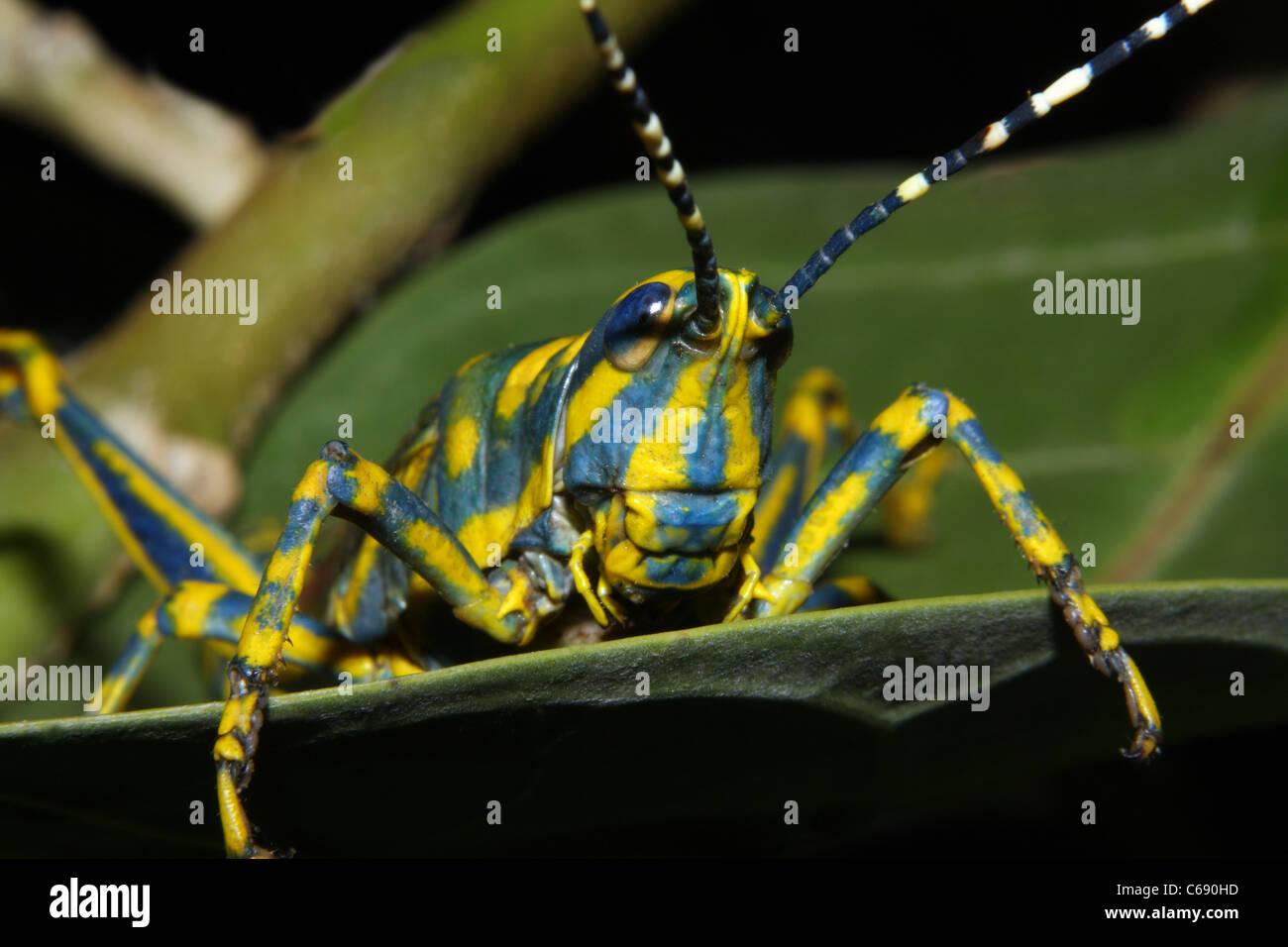 Eine bemalte Heuschrecke Poekilocerus Pictus auf einem Baum Stockbild