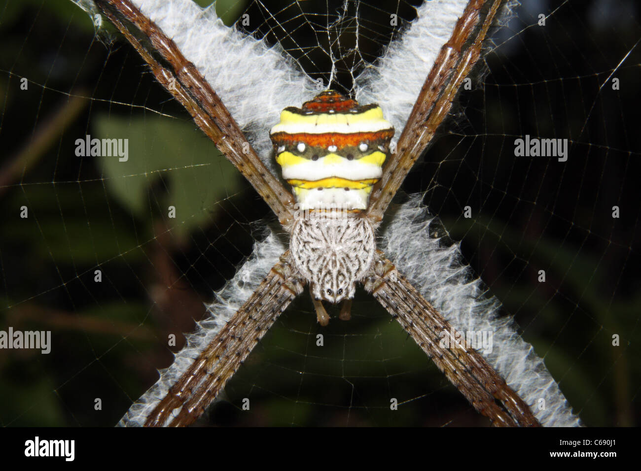 Signatur-Spinne, Wespenspinne sp, ARANEIDAE. Assam. Indien Stockbild