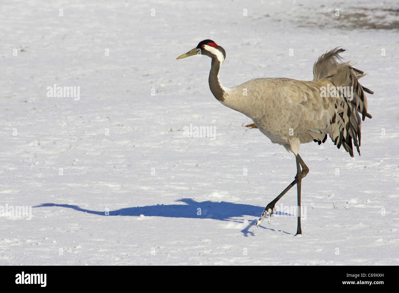Kranich, eurasische Kranich (Grus Grus), Erwachsenen gehen auf Schnee. Stockbild