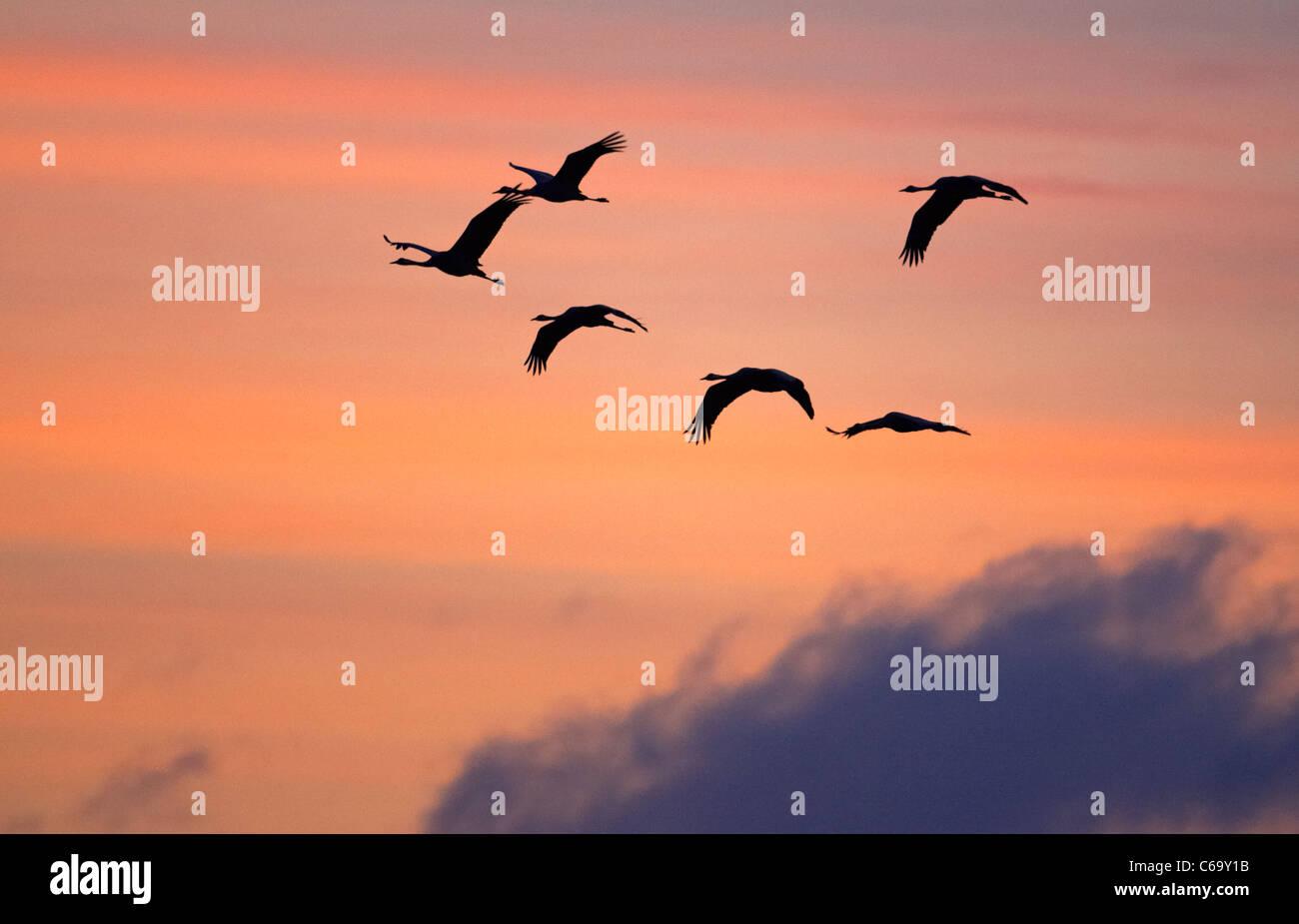 Kranich, eurasische Kranich (Grus Grus), wandernde Herde auf der Flucht vor einem bunten Morgenhimmel zu sehen. Stockbild
