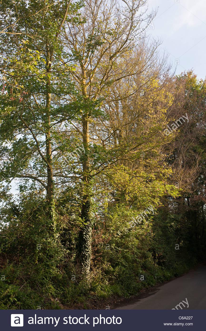 Ulmensterben DED gemeinsame Ulme Ulmus Procera native englische Touristenort East Sussex hohen Laubbaum Sommer August Stockbild