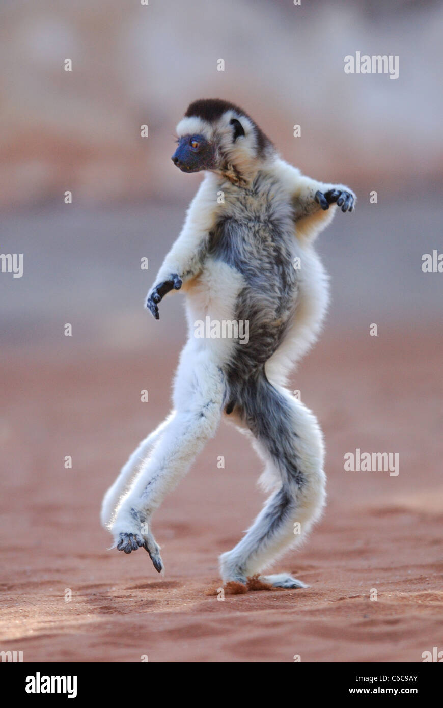 Verreaux Sifaka (Propithecus Verreauxi) tanzen in Madagaskar Stockbild