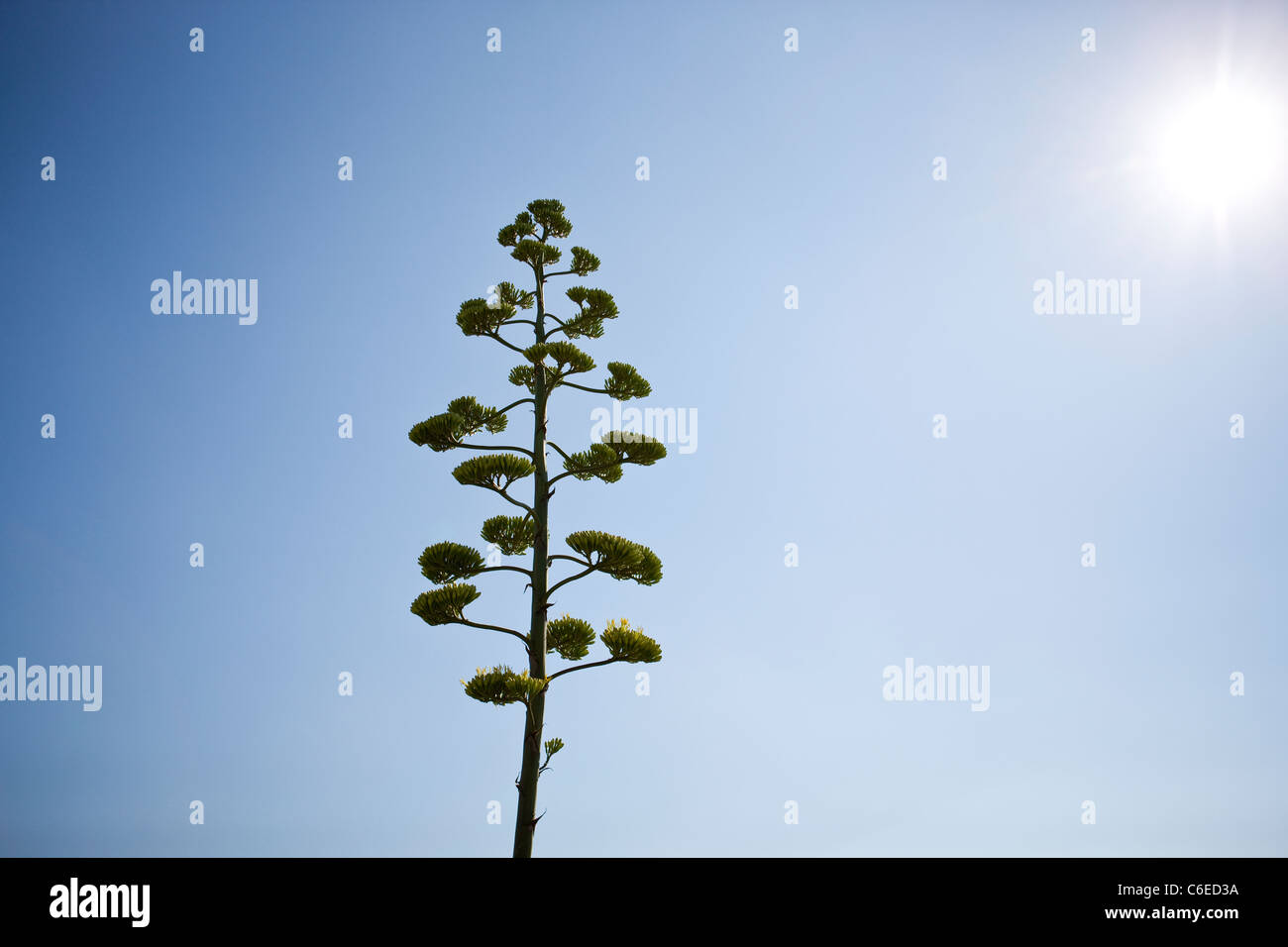 Eine Aloe Vera Pflanze in Blüte Stockfoto