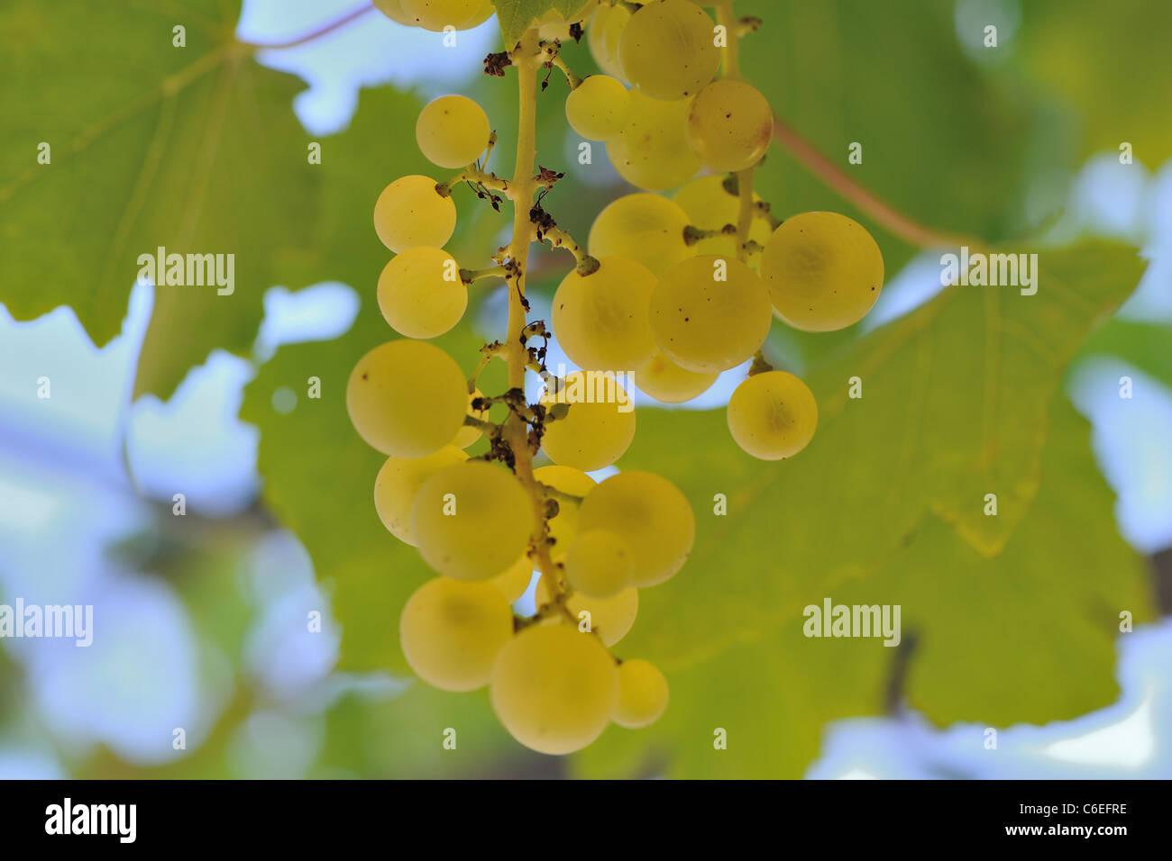 wein trauben weinberg vitis vinifera centennial sorte mit wei en trauben knackig scharf. Black Bedroom Furniture Sets. Home Design Ideas