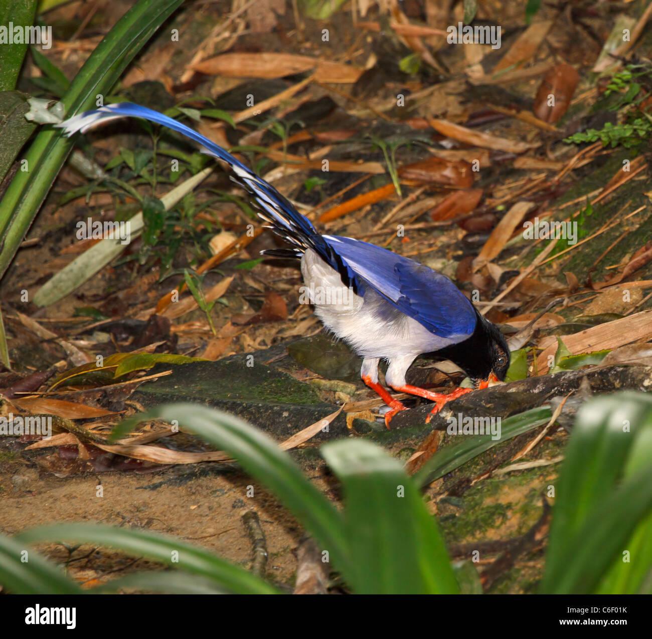 Rot-billed blaue Elster, Urocissa Erythrorhyncha. Asiatische Waldvogel in der Familie der Rabenvögel. Stockbild