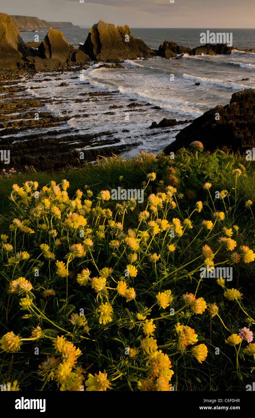 Schöne Massen der Niere Wicke Iin Frühling auf den Klippen am Hartland Quay, North Devon. Stockbild
