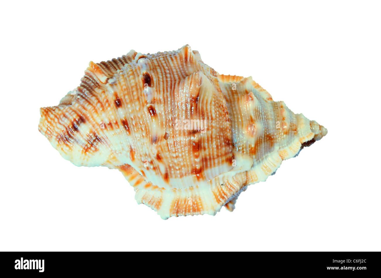 kleine Murex Muschel isoliert auf weißem Hintergrund Stockbild