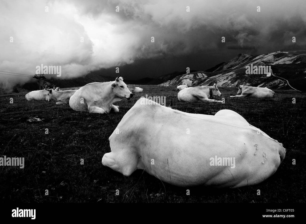 Weiße Kühe auf einem Berg, bewölkt Stockbild