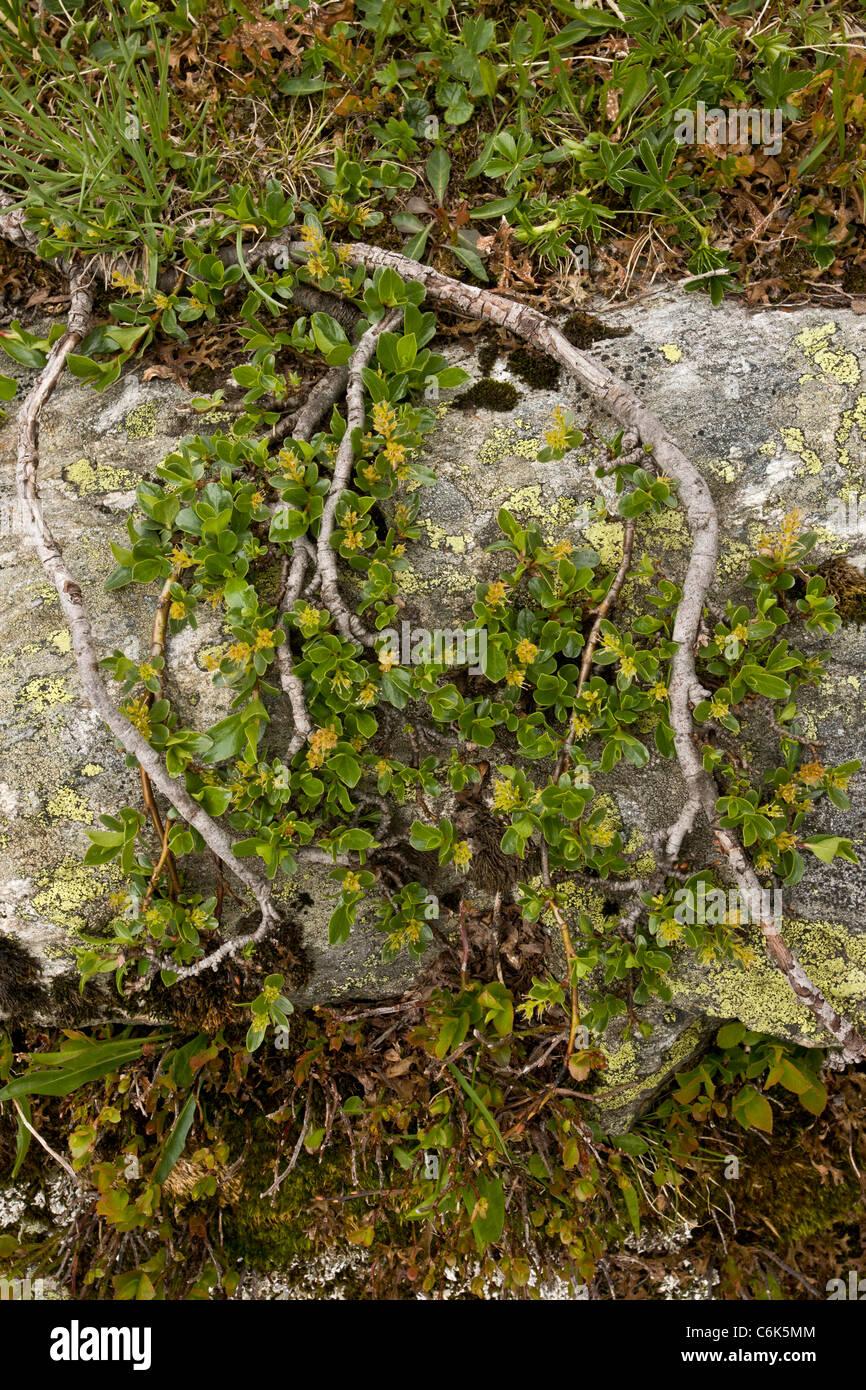 Ihrer Leaved Weide Salix Retusa Alten Zwerg Alpinen Weiden
