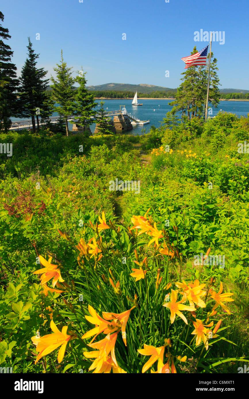 Lilien, Manset, Mount Desert Island, Maine, USA Stockbild