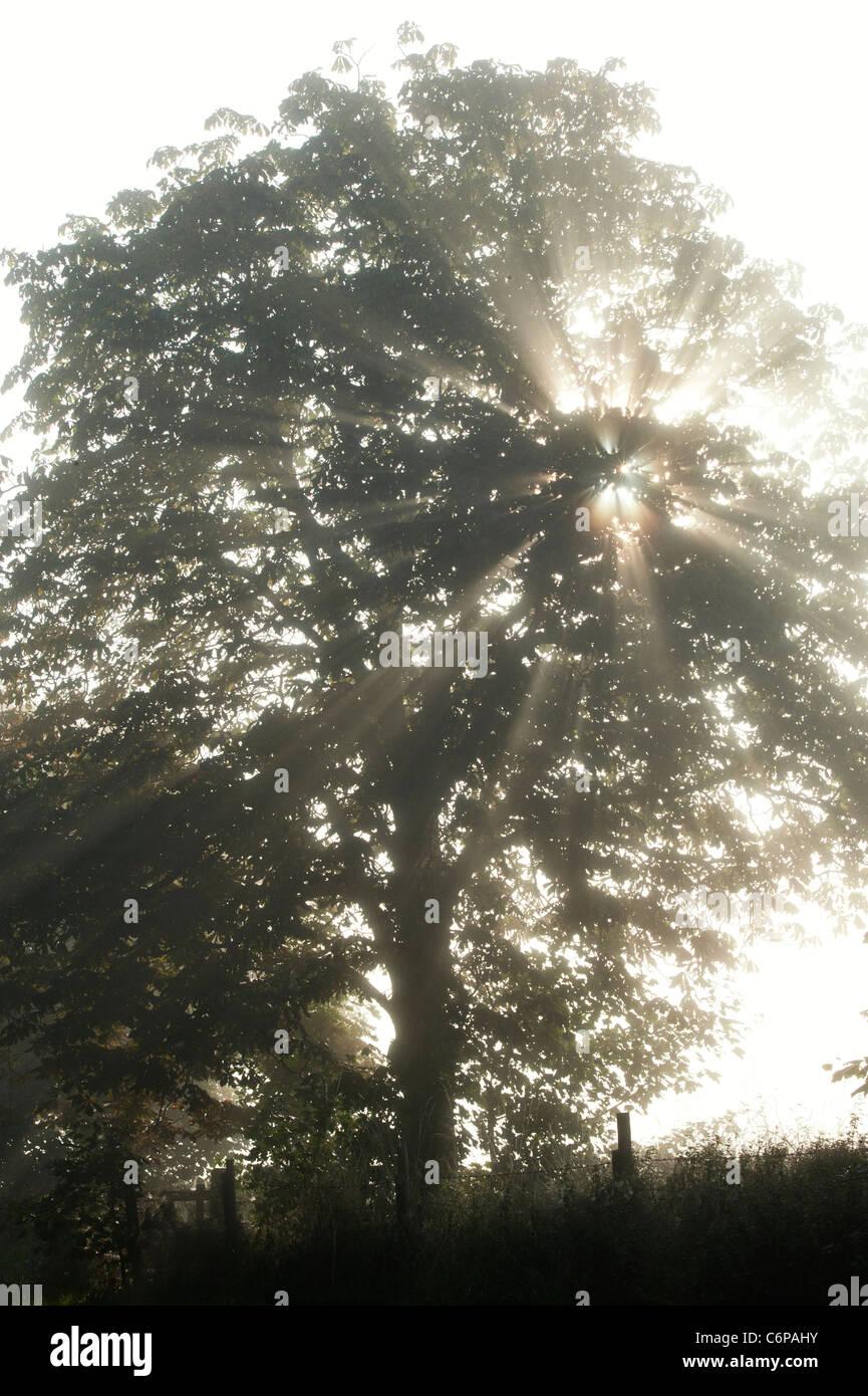Sonnenstrahlen durch Rosskastanie Baum im nebligen englische Landschaft am frühen Morgen Stockbild