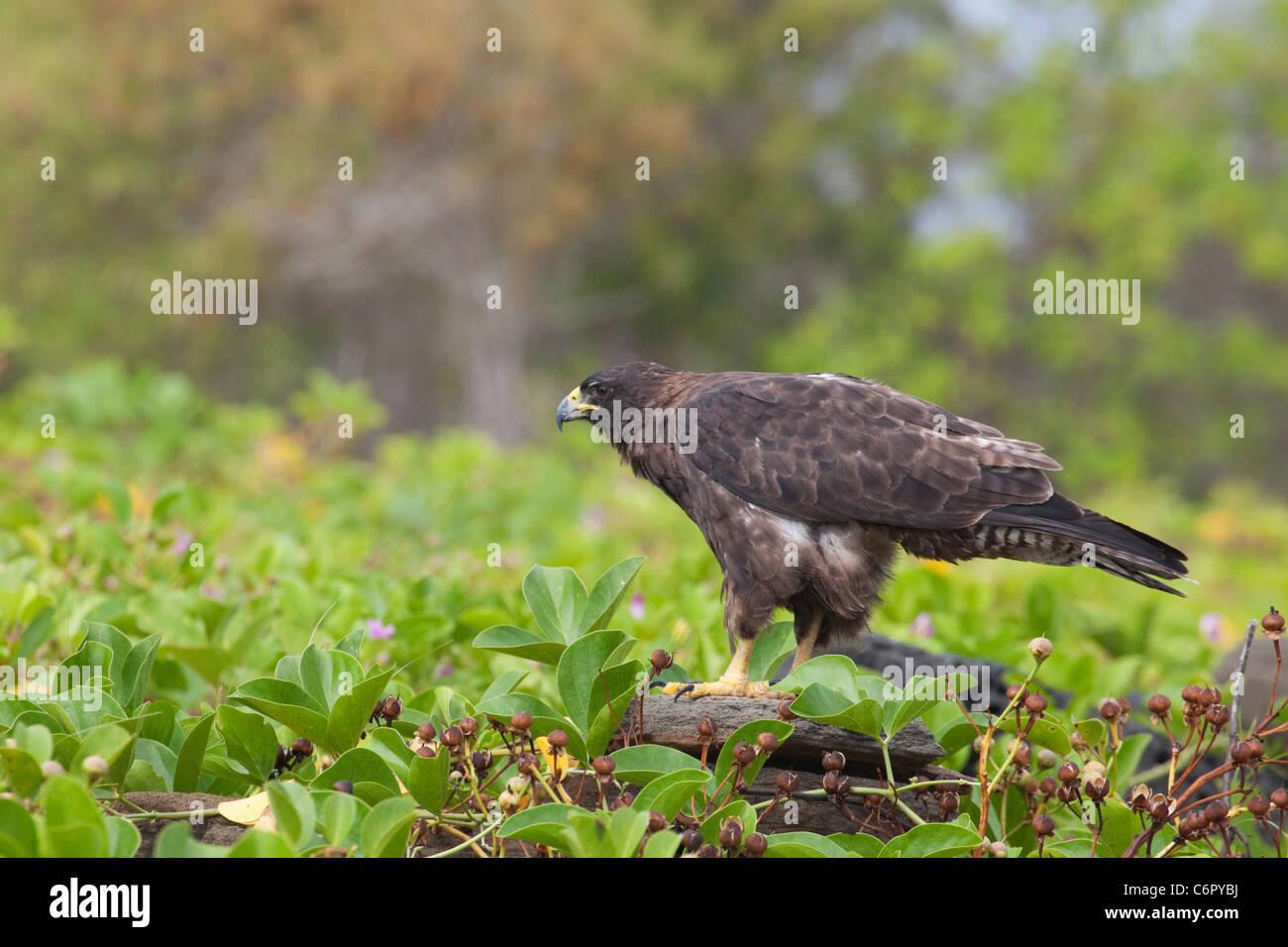 Galapagos-Falke (Buteo Galapagoensis) Stockbild