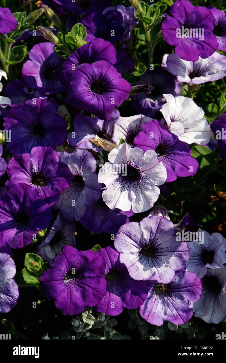 Petunie Dunkelblau 60 Samen