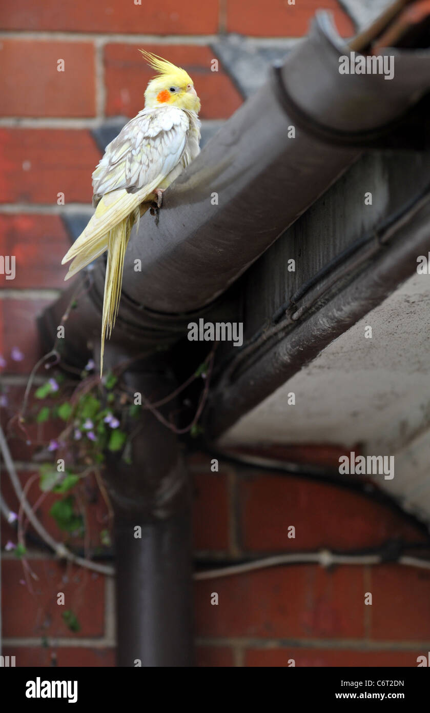 Wellensittich, Wellensittich, verlor entkam Vogel, UK Stockbild