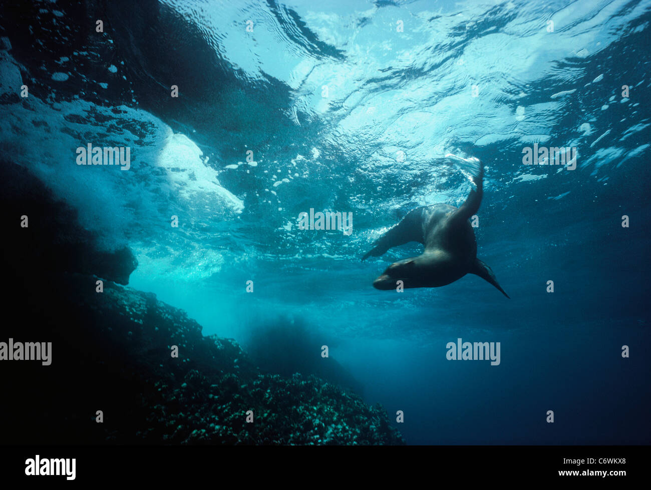 Galapagos-Seelöwe (Zalophus Wollebaeki) Backflipping und spielen in Brandung. Sea Lion Strand, Galapagos-Inseln, Stockfoto