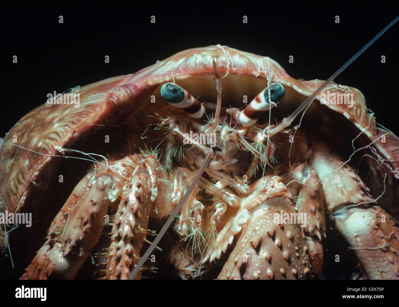 Blau-Auge Einsiedlerkrebs (Dardanus Tinctor), auch bekannt als die Coral Einsiedlerkrebs oder Anemonen Einsiedlerkrebs. Stockbild
