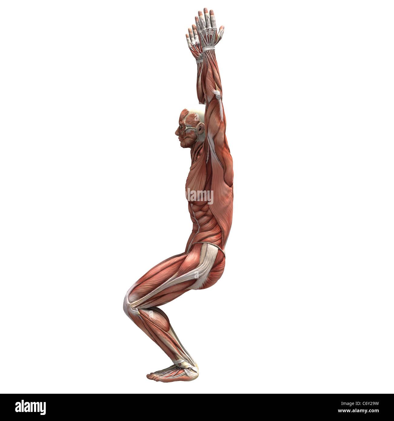 Eine menschliche männliche Figur mit Muskelgewebe in verschiedenen ...