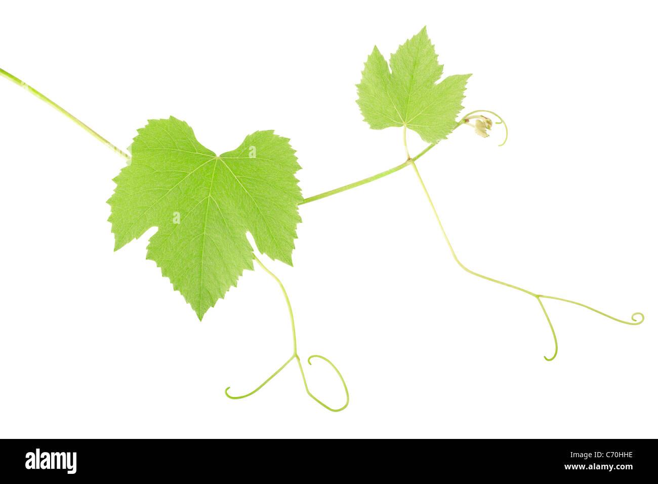 Grüne Traube Blätter Stockbild