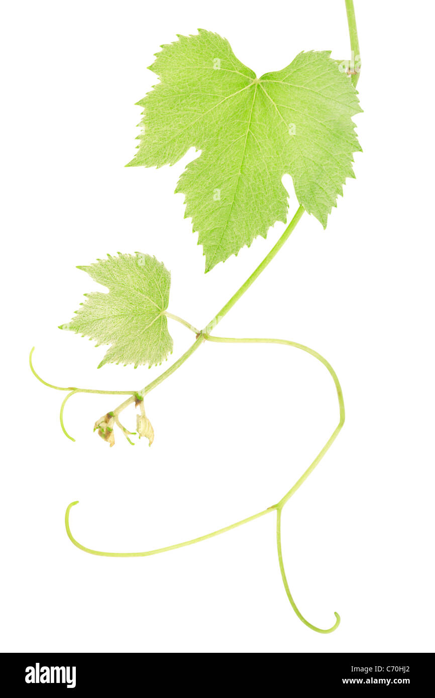 Grüne frische Weinblätter Stockbild