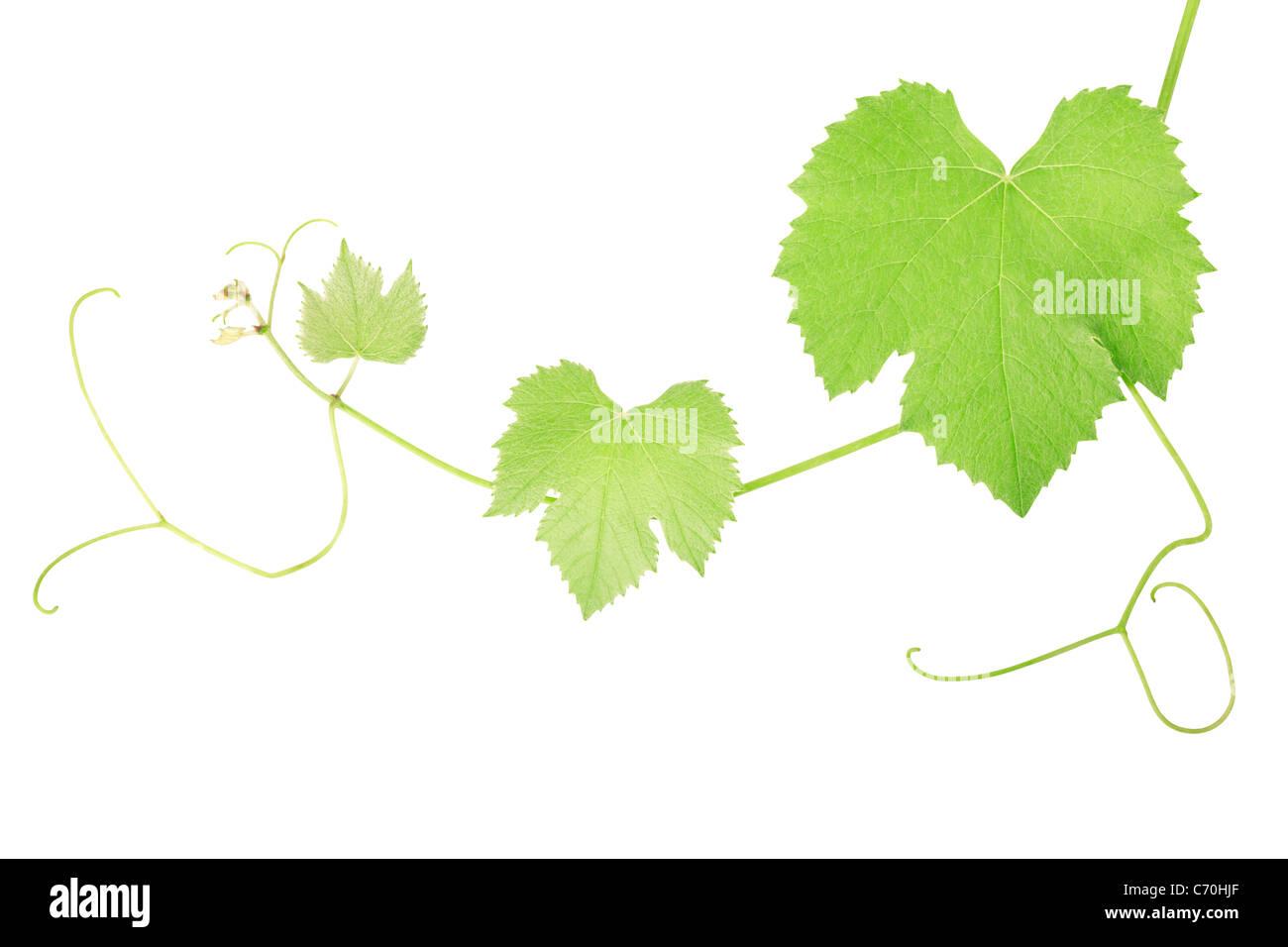 Weinrebe-Blätter Stockbild