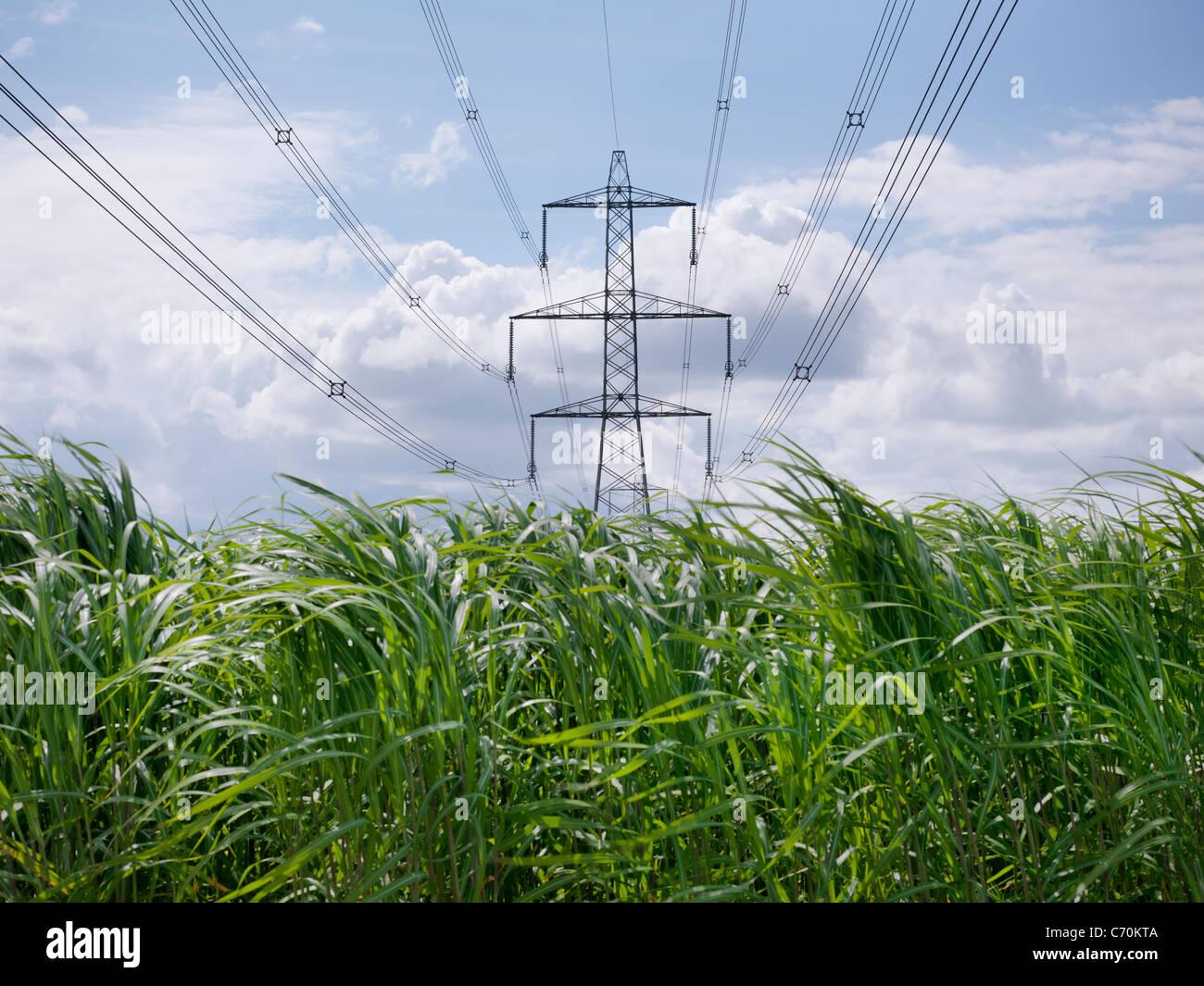 Biomasse-Brennstoff-Anbau von Stromleitungen Stockbild